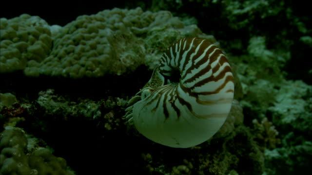Chambered nautilus (Nautilus pompilius) feeds on coral reef at night, New Caledonia