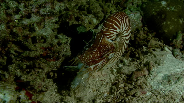 chambered nautilus (nautilus pompilius) feeds on dead shrimp on coral reef at night, new caledonia - meeresboden stock-videos und b-roll-filmmaterial