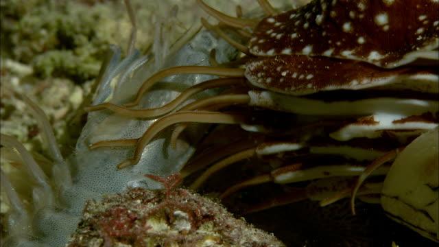 chambered nautilus (nautilus pompilius) feeds on dead shrimp on coral reef at night, new caledonia - nautilus stock videos & royalty-free footage