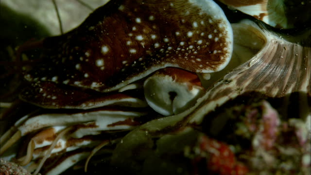 Chambered nautilus (Nautilus pompilius) feeds on dead shrimp on coral reef at night, New Caledonia