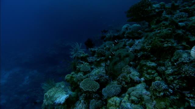 chambered nautilus (nautilus pompilius) swims on coral reef at dusk, new caledonia - nautilus stock videos & royalty-free footage