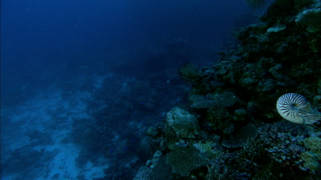 Chambered nautilus (Nautilus pompilius) swims on coral reef at dusk, New Caledonia