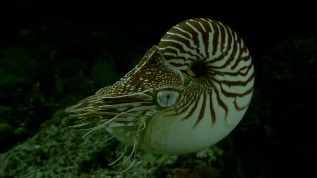 Chambered nautilus (Nautilus pompilius) swims on coral reef at night, New Caledonia