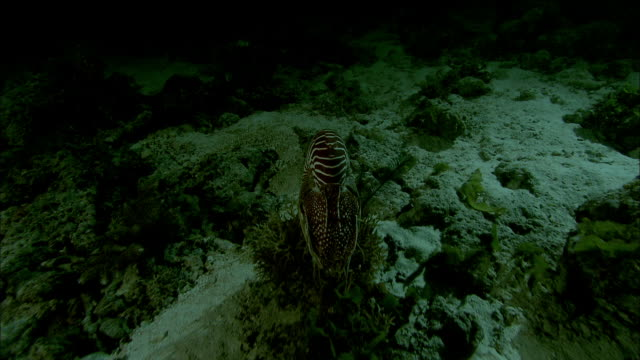 chambered nautilus (nautilus pompilius) swims on coral reef at night, new caledonia - nautilus stock videos & royalty-free footage