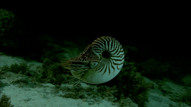Chambered nautilus (Nautilus pompilius) swims on coral reef at night, New Caledonia