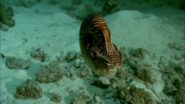 chambered nautilus (nautilus pompilius) swims on coral reef at night, new caledonia - meeresboden stock-videos und b-roll-filmmaterial