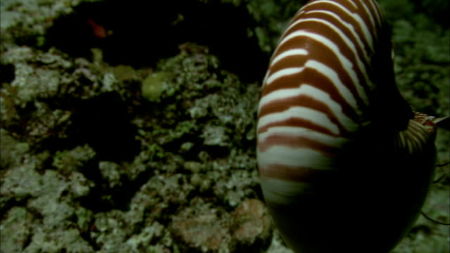 stockvideo's en b-roll-footage met chambered nautilus (nautilus pompilius) swims on coral reef at night, new caledonia - vachtpatroon