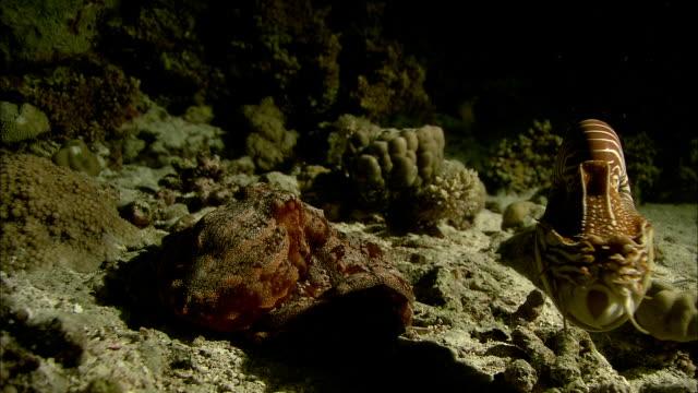 chambered nautilus (nautilus pompilius) swims past octopus (octopodidae) on coral reef at night, new caledonia - nautilus stock videos & royalty-free footage