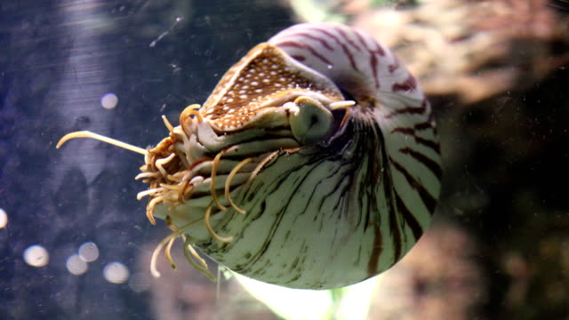 Chambered Nautilus (pompilius) underwater in a aquarium
