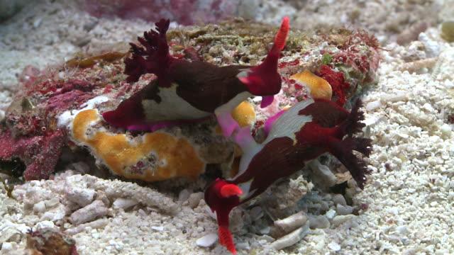 chamberlain's nudibranch (nembrotha chamberlaini) and mating, southern visayas, philippines - gliedmaßen körperteile stock-videos und b-roll-filmmaterial