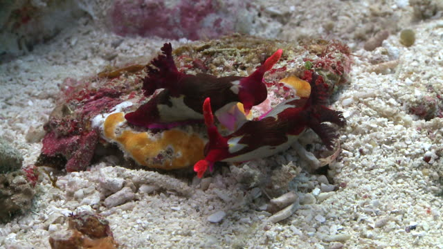 vidéos et rushes de chamberlain's nudibranch (nembrotha chamberlaini) courtship and mating, southern visayas, philippines - hermaphrodite