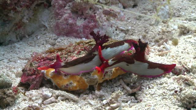 vidéos et rushes de chamberlain's nudibranch (nembrotha chamberlaini), southern visayas, philippines - hermaphrodite
