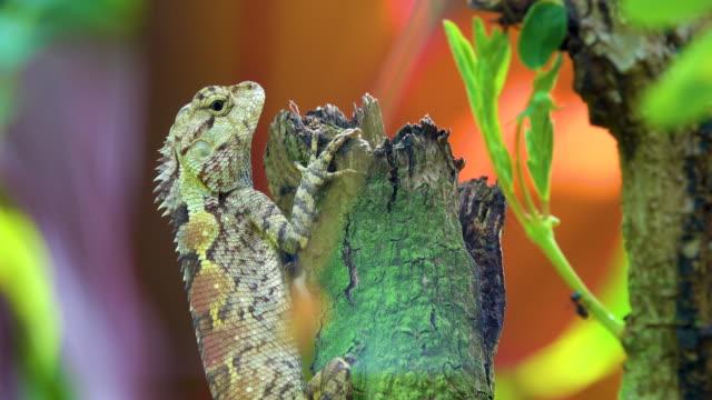 vidéos et rushes de animal de caméléon 4k sur arbre - caméléon