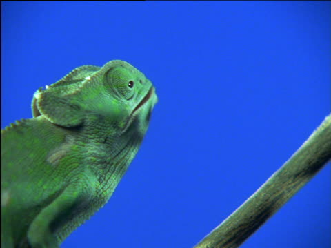 Chameleon catches fly with tongue