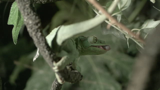 CU SLO MO Chameleon catching bug and eating / Los Angeles, California, USA