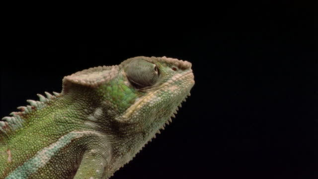 cu, chameleon catching prey with extensile tongue  - 昆虫点の映像素材/bロール