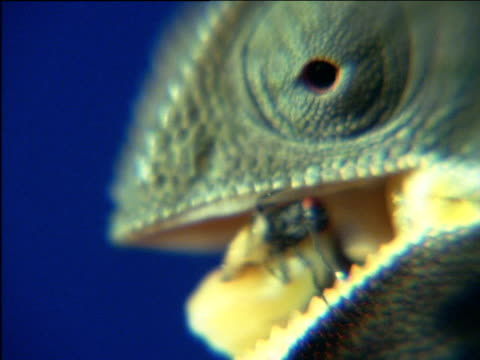 Chameleon chews insect
