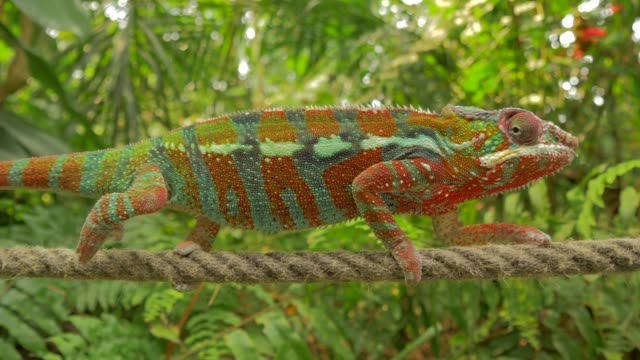 chameleon climbing slowly in environment with branches, trees and green backgorund - branch plant part stock videos & royalty-free footage