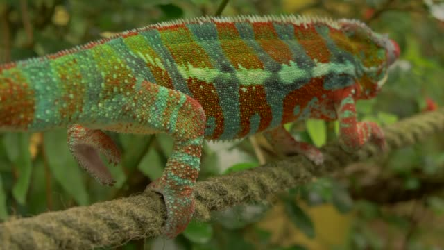 vidéos et rushes de chameleon climbing slowly in environment with branches, trees and green backgorund - partie du corps d'un animal