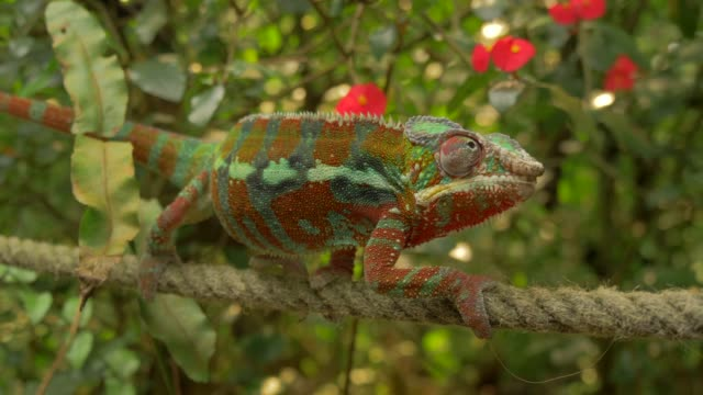 chameleon climbing slowly in environment with branches, trees and green backgorund - カメレオン点の映像素材/bロール