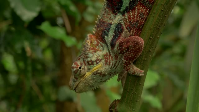 vidéos et rushes de chameleon climbing slowly in environment with branches, trees and green backgorund - caméléon
