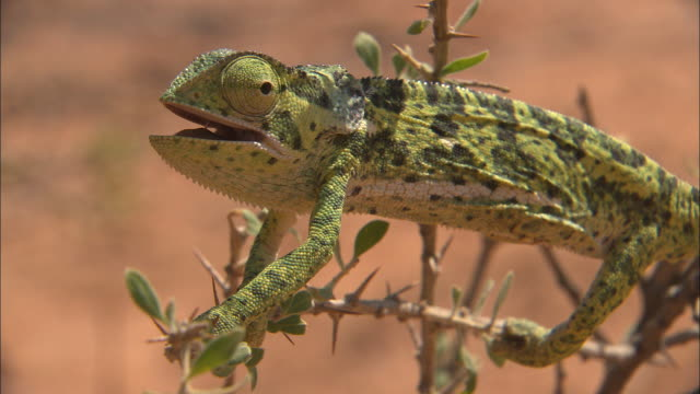 a chameleon clings to a branch. - wildlife stock videos & royalty-free footage