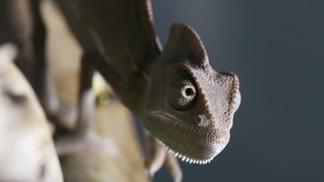 Camaleonte primo piano video: Come un Dinosauro