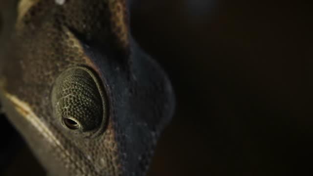 stockvideo's en b-roll-footage met chameleon close up video: like a dinosaur - dinosaurus