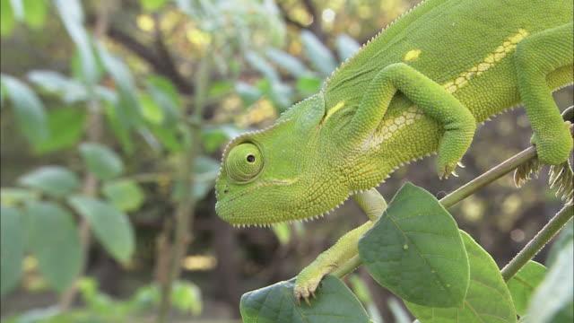 vidéos et rushes de a chameleon crawls along leafy branches. - caméléon