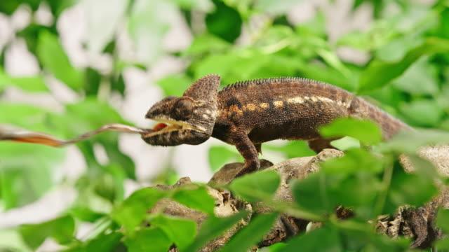vidéos et rushes de slo mo chameleon mangeant la sauterelle - caméléon