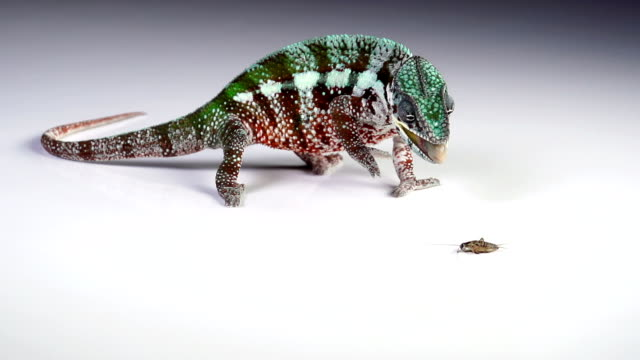chameleon eating slow motion - high speed photography stock videos and b-roll footage