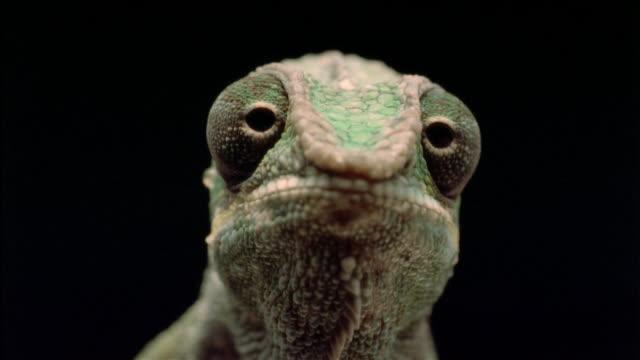 vidéos et rushes de cu, chameleon, headshot  - caméléon