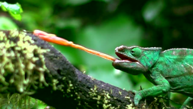 vidéos et rushes de a chameleon hunting prey with the tongue in madagascar - animal mouth