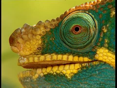 stockvideo's en b-roll-footage met bcu chameleon in profile - dierenoog