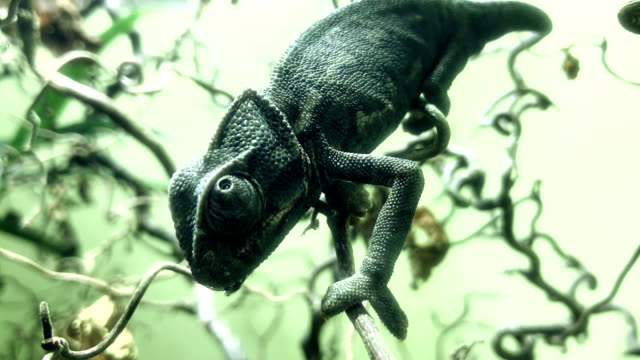 chameleon looking all around - choice stock videos & royalty-free footage