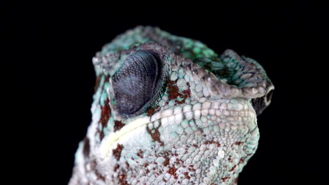 vidéos et rushes de caméléon à la recherche de macro - caméléon