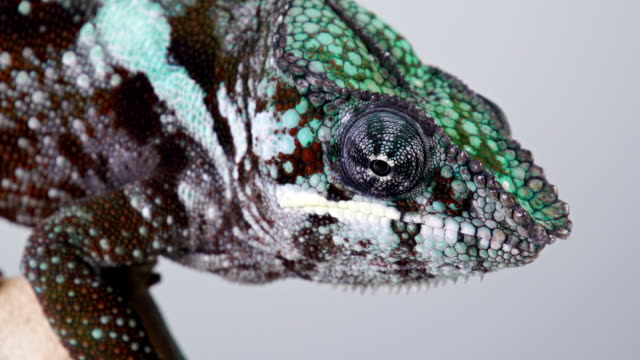 chameleon macro - reptile stock videos and b-roll footage