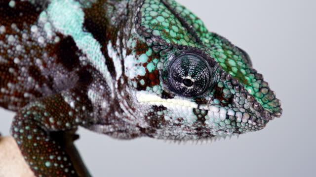 vídeos de stock e filmes b-roll de camaleão macro - réptil