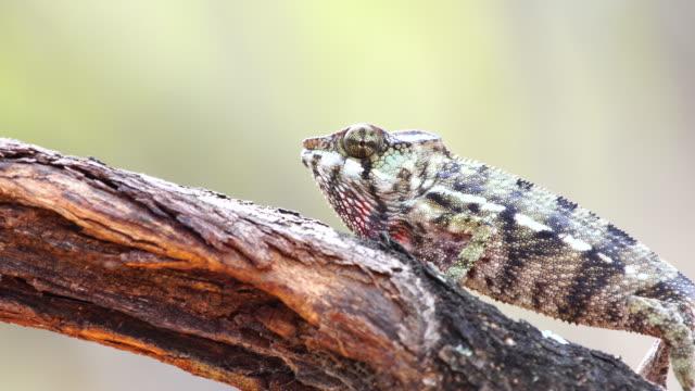 カメレオン パンサー カメレオン (furcifer ポスター発表の部) のアカシアの木の上 - レプリカ点の映像素材/bロール