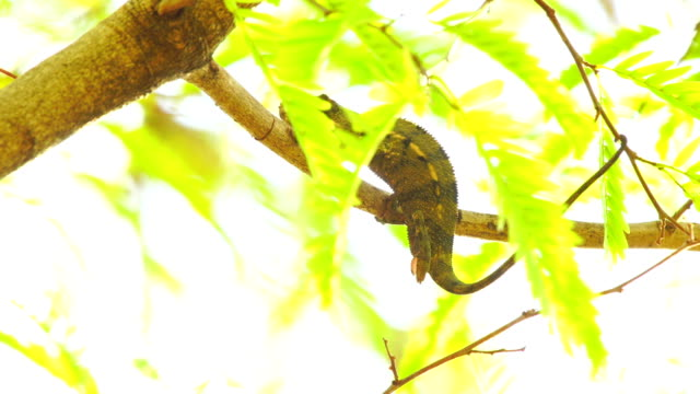 chameleon on acacia tree - panther chameleon (furcifer pardalis) - french overseas territory stock videos & royalty-free footage