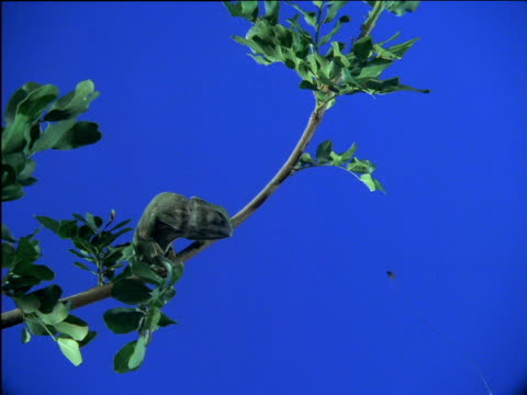 chameleon on branch attempts to catch fly with tongue - limb body part stock videos & royalty-free footage