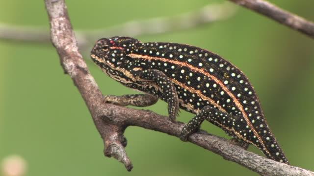CU, Chameleon (Furcifer campani) on branch, Toamasina Province, Madagascar