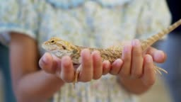 Chameleon on hands of little child girl in slow motion shot. Concept of self learning and love animal lifestyle.