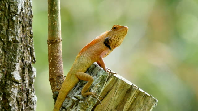 chameleon on the tree - puma stock videos & royalty-free footage