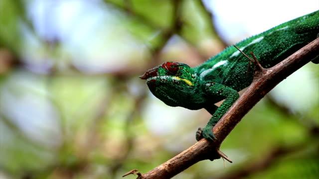 vidéos et rushes de caméléon sur tree. caméléon panthère (furcifer pardalis) - french overseas territory