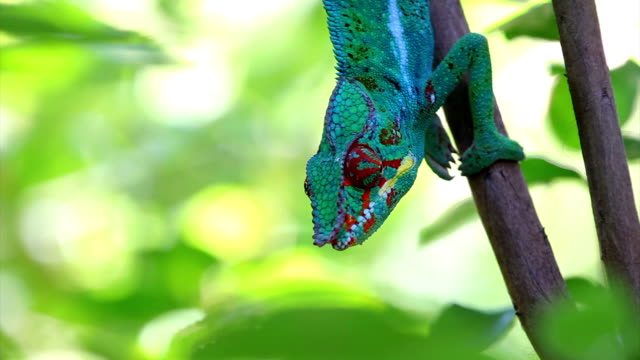 chameleon on tree... panther chameleon (furcifer pardalis) - réunion french overseas territory stock videos & royalty-free footage