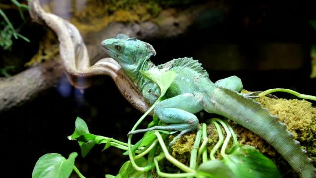 vidéos et rushes de caméléon sur tree - reptile