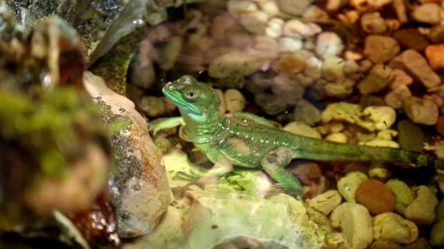 vídeos y material grabado en eventos de stock de camaleón de árbol - reptil