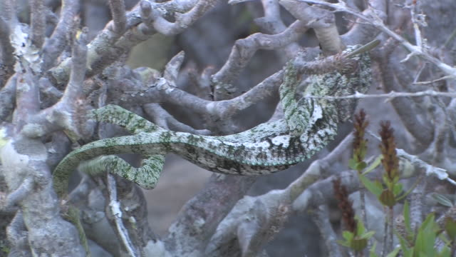 ms, chameleon (furcifer verrucosus) on twisted branches, toamasina province, madagascar - intricacy stock videos & royalty-free footage