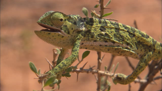CU, Chameleon perching on  branch, South Africa